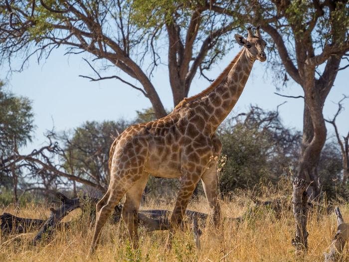 Giraffe walking on field against trees, moremi game reserve, botswana