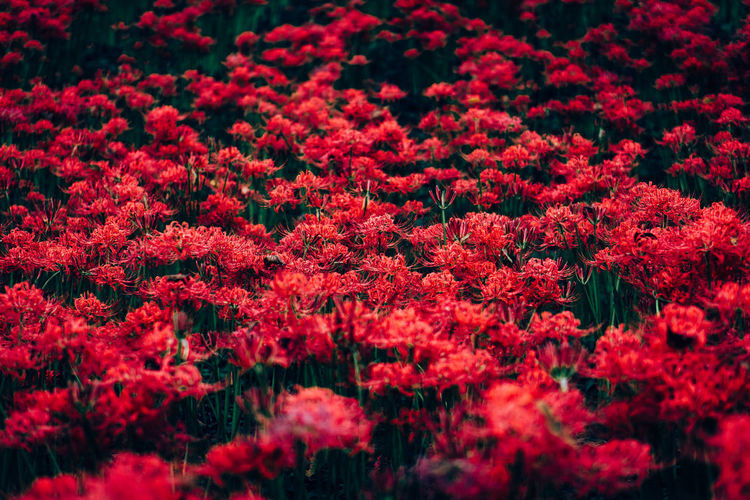 Backgrounds Beauty In Nature Blossom Close-up Day Flower Flowering Plant Fragility Freshness Full Frame Growth Nature No People Outdoors Petal Plant Red Selective Focus Springtime Tranquility EyeEmNewHere