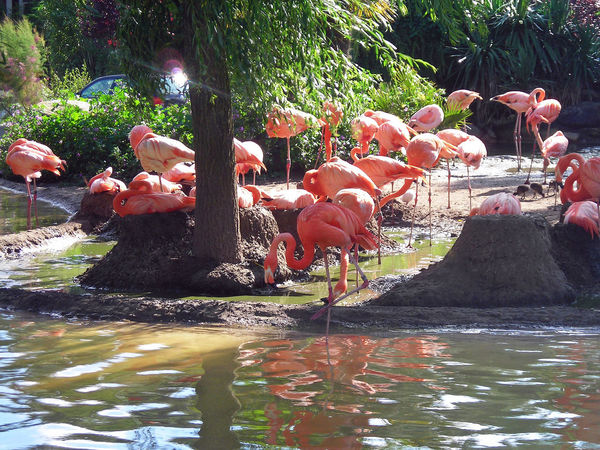 Flemish Flamingos Pink Flemish Birds Mix Large Group Of Birds One Pawn Up Birds Theme Flamands Roses Large Group Of Animals Gender Blend Pink Color Rosé Birds Sun Ray Water Coloré Rose Ensoleillé