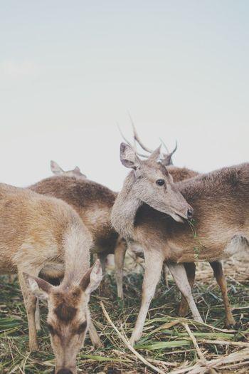 Shy Deer Animal Mammal Animal Themes Group Of Animals Field Vertebrate Animal Wildlife Domestic Animals Nature Deer
