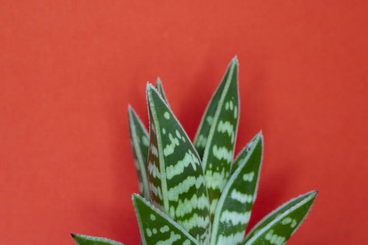 Close-up of succulent plant against red background