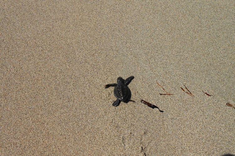 Turtle Animal Sandy Beach