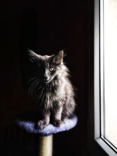 Bon dimanche les p'tits chats Norvegianforrestcat Pets Domestic Cat Feline Window Portrait Humor Close-up Kitten Animal Eye Yellow Eyes Cat At Home