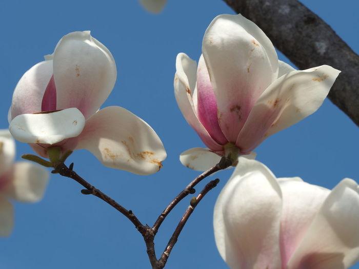 Tokyo Magnoria