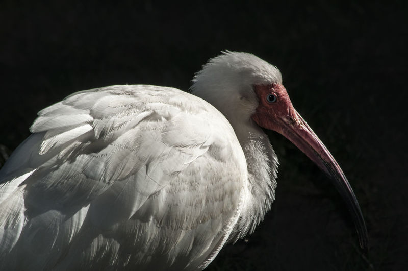 Side view of american white ibis