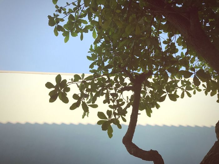 Low Angle View Tree Growth Nature Fruit Branch Sky Outdoors Day No People Hanging Food And Drink Clear Sky Beauty In Nature Food Healthy Eating Close-up Freshness Fragility EyeEm Nature Lover EyeEm Best Shots EyeEm Tree Collection Eyeem Plants EyeEm Sky Lover Eyeem Sky_collection