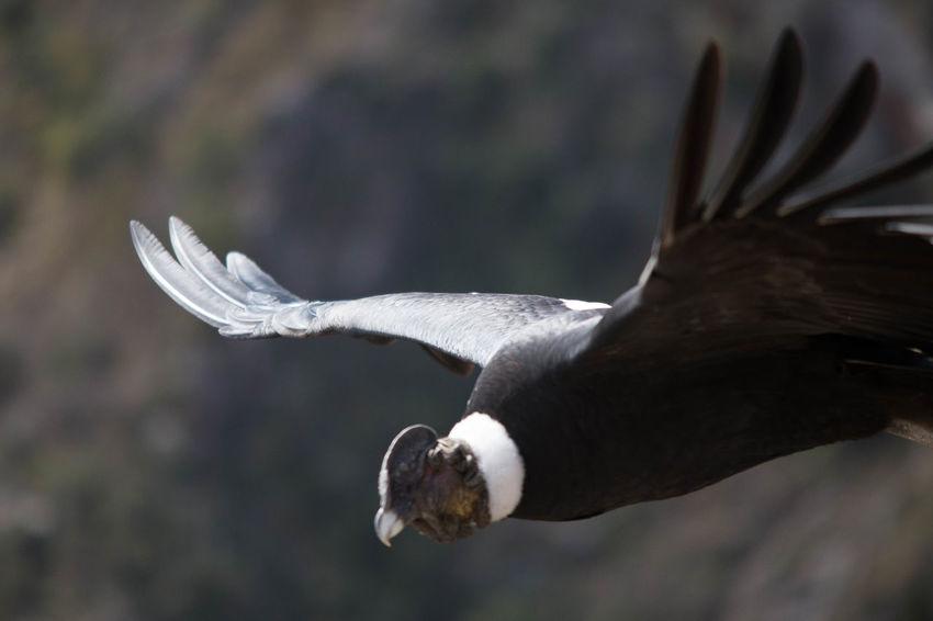 Bird Photography Condor Andino Cóndor  Flying Flying High Vuelo De Aves