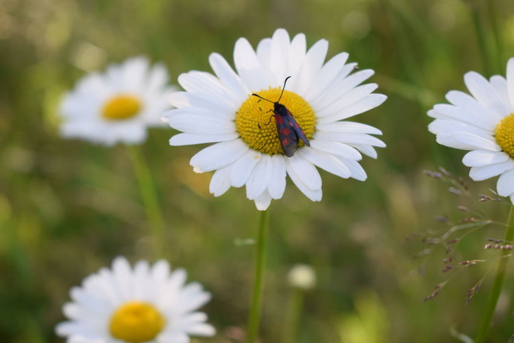 a moth on a daisy Flower Flowering Plant Fragility Vulnerability  Freshness Plant Petal Growth Flower Head Beauty In Nature Inflorescence Close-up White Color Invertebrate Pollen Animal Focus On Foreground Insect Daisy One Animal No People Pollination Moth Red And Black Daisies Flowers