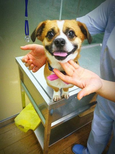 Right Before a Surgery He Still Can Lighten up a Room Dog Happy Dog Happy Injured Dog Surgery Mixed Breed Dog Black, White And Brown Dog Portrait Hands Hands At Work Veterinarian Vet  Doctor  Animal Doctor Animal Dog
