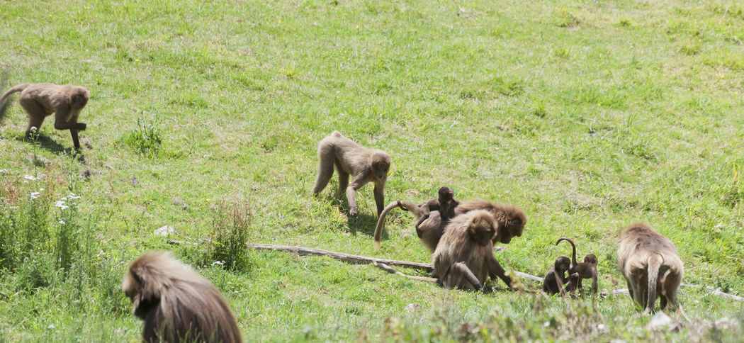Gelada Baboon families grazing - Theropithecus gelada Africa Animal Animal Themes Ape Baboon Baby Bonding Care Family Feeding  Foraging Gelada Gelada Baboon Group Group Of Animals High Angle View Mammal Monkey No People Outdoors Primate Theropithecus Wild Wildlife Young Animal