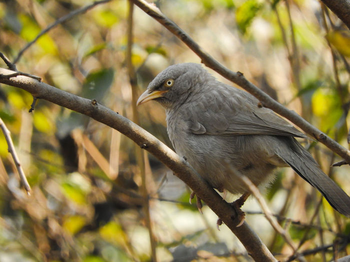 Forest Tree Branch Babbler Jungle Babbler Jungle Perched Perching Grey Indian Sitting Wings Bird Tree Perching Branch Wilderness Close-up Feather  Beak Woods