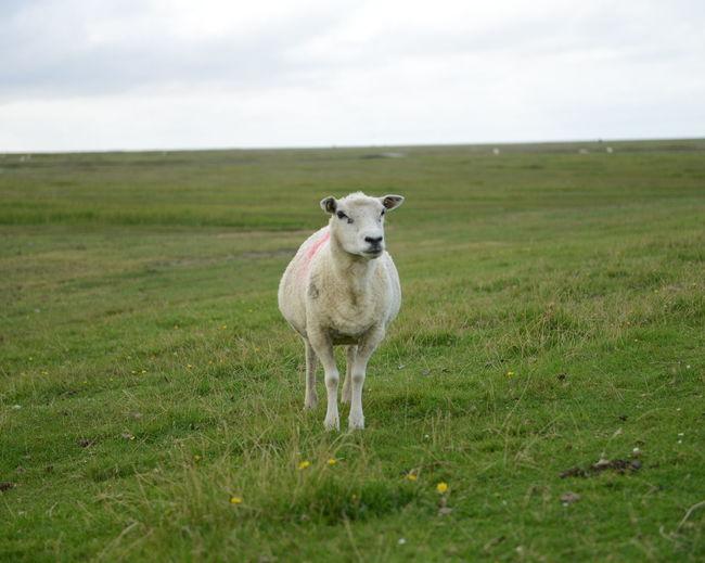 Farm animal on grass