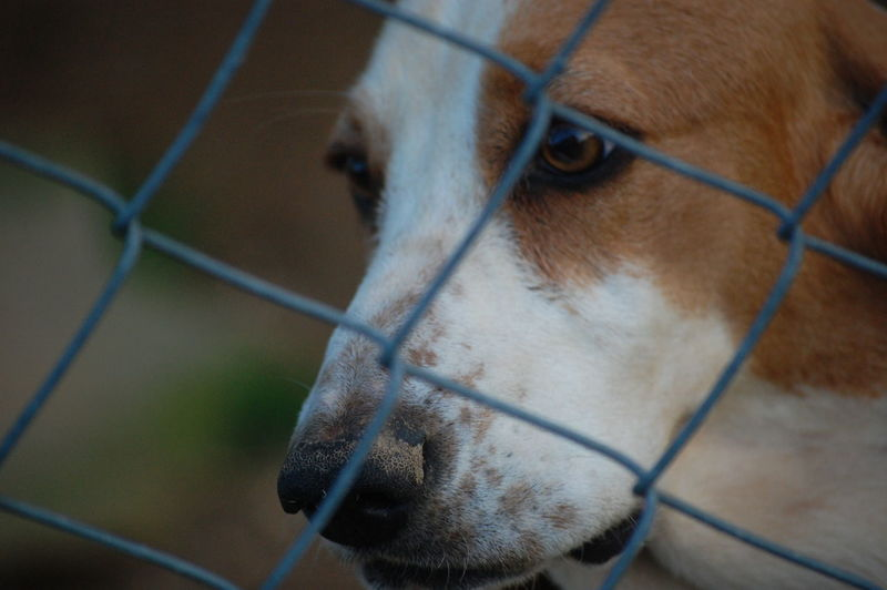 A picture of a basset hound looking through a fence. Animal Eye Animal Themes Cage Chainlink Fence Close-up Dog Domestic Animals Dramatic Mammal Nature No People One Animal Outdoors Pet Pets