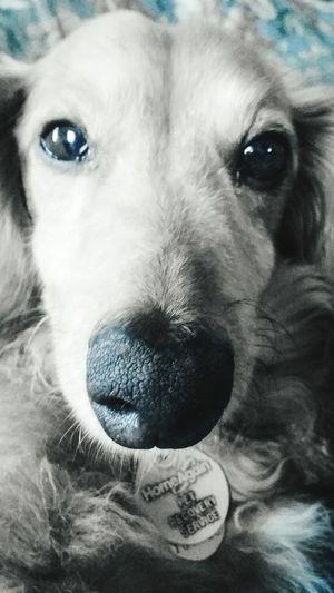 Pet Animal Cute First Eyeem Photo Dachshundlovers Dachshundlover Miniature Dachshund Dachshundsofeyeem Dachshundlove Dachshunds Dachshund Puppy Love