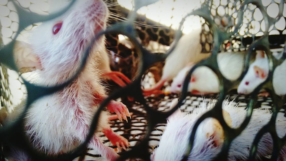 Animal Themes No People Close-up Rats ♡ Ratsarepetstoo Ratstagram Rats Caged Captivated Love To Take Photos ❤ EyeEmNewHere Photographylove❤