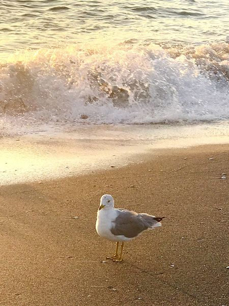 Gull Bird Animal Themes One Animal Animal Wildlife Animals In The Wild Beach Sea Wave No People Sand Outdoors Water Day Perching Nature EyeEm Wave Fresh On Eyeem  This Week On Eyeem Clear Sky Tranquility Idyllic Beauty In Nature Nature Tranquil Scene