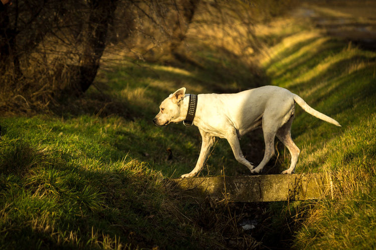 Animal Themes Day Dog Dogo Argentino Domestic Animals Grass Mammal Nature No People One Animal Outdoors Pets