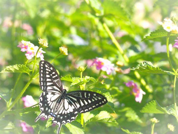 優しい夢を… キアゲハ 蝶々 Butterfly Collection Butterfly - Insect Insect Collection 日だまり Flower EyeEm Nature Lover EyeEm Gallery Eyemphotography EyeEm Best Shots Taking Photos EyeEm Best Shots - Nature Beauty In Nature