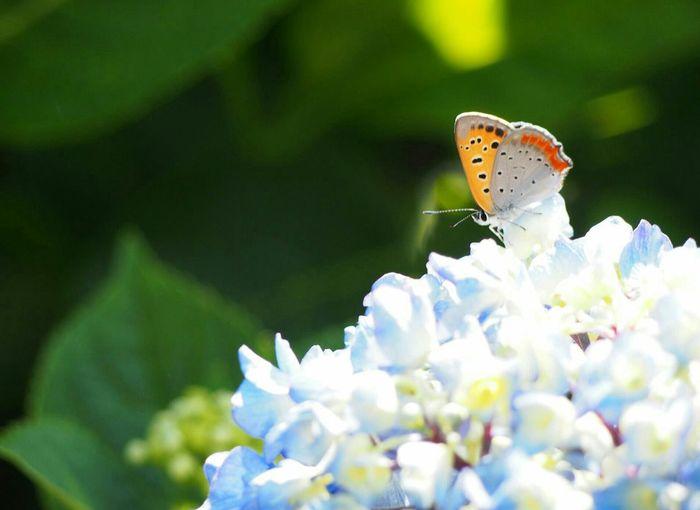 いつか私に気づいてください… 恋心 Butterfly 紫陽花 Flower 日だまり Natural Flower Collection EyeEm Nature Lover EyeEm Best Shots EyeEm Gallery