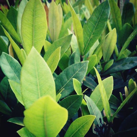 Leaf Growth Nature Plant Green Color Close-up No People Beauty In Nature Outdoors Day Freshness Garden