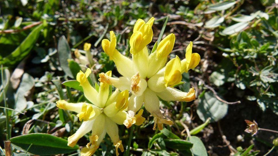 Der Gelbe Lerchensporn (Corydalis lutea) Meadowflowers Lerchensporn Nature Spring Wiese  Wiesenblumen Frühling Blumen Fragility Petal Growth No People Outdoors