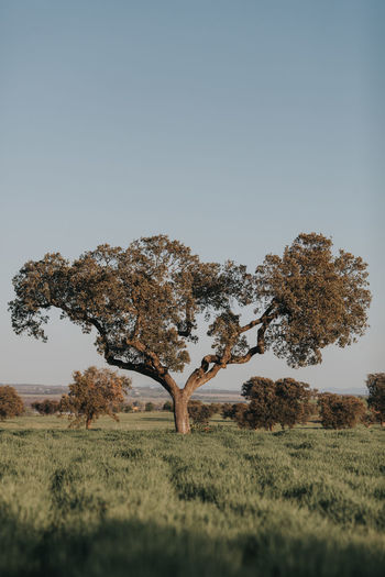 Alentejo,Portugal Cork Loneliness Portugal Portugal Oficial Fotos Colection EyeEm© Alentejo Beauty In Nature Clear Sky Cork Tree Environment Field Grass Growth Land Landscape Nature Non-urban Scene Outdoors Portugal_lovers Portugaldenorteasul Spring Springtime Tranquil Scene Tranquility Tree