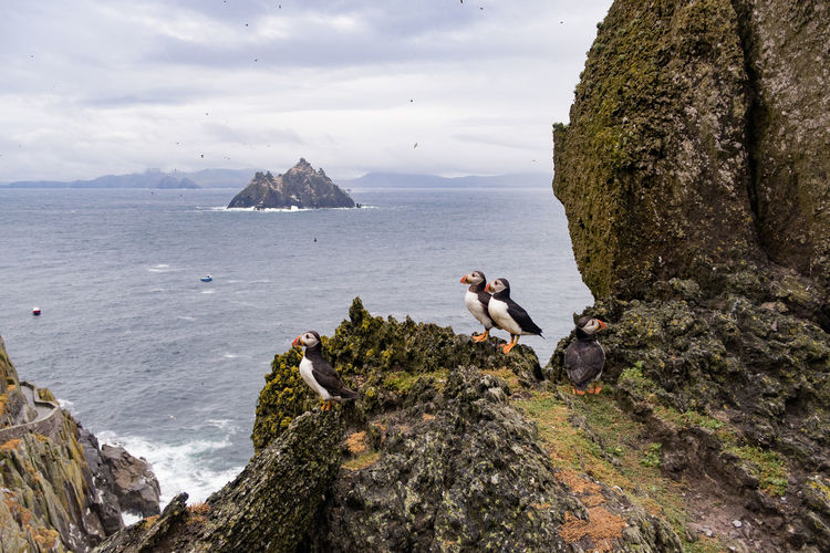 Puffins from