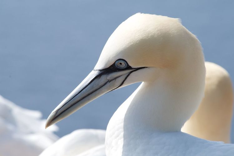 gannets in the