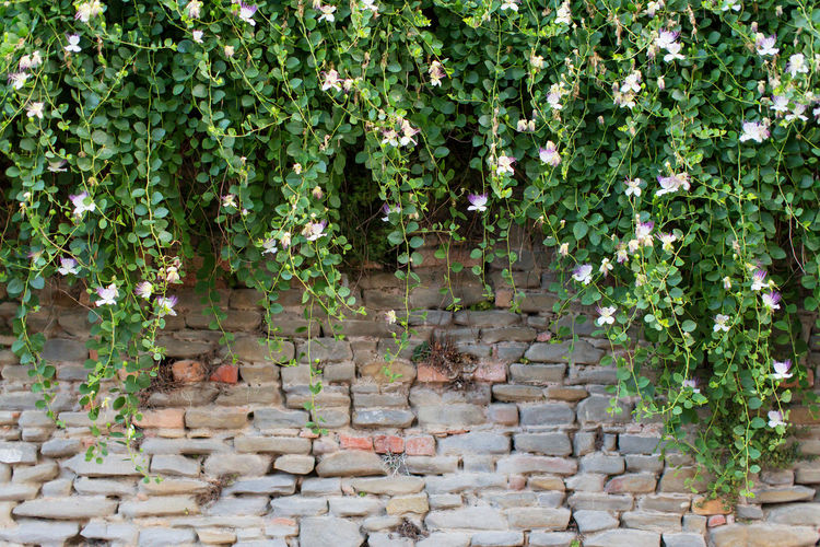 A stone wall with flowers, Neive, Italy Ancient Beauty In Nature Creeper Day Flower Full Frame Green Green Color Growing Growth Historic Ivy Leaf Nature No People Outdoors Plant Stone Wall Travel Destinations Wall - Building Feature