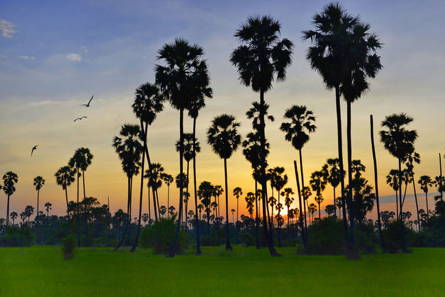 view Silhouette of plam trees with colourful sunset and twilight sky,Thailand Trees Beauty In Nature Day Grass Landscape Nature No People Outdoors Palm Tree Plam Scenics Silhouette Sky Sunset Thailand Travel Destinations Tree Tree Area