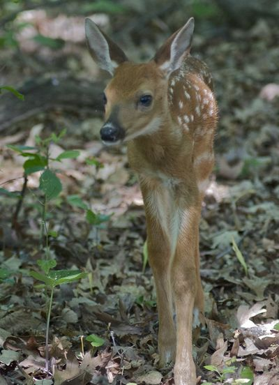 Illinois Odocoileus Virginianus Animal Animal Themes Animal Wildlife Animals In The Wild Day Deer Fawn Field Herbivorous Land Mammal Nature No People Odocoileus Virginianus One Animal Plant Standing Vertebrate White Tailed Deer Woods Young Animal