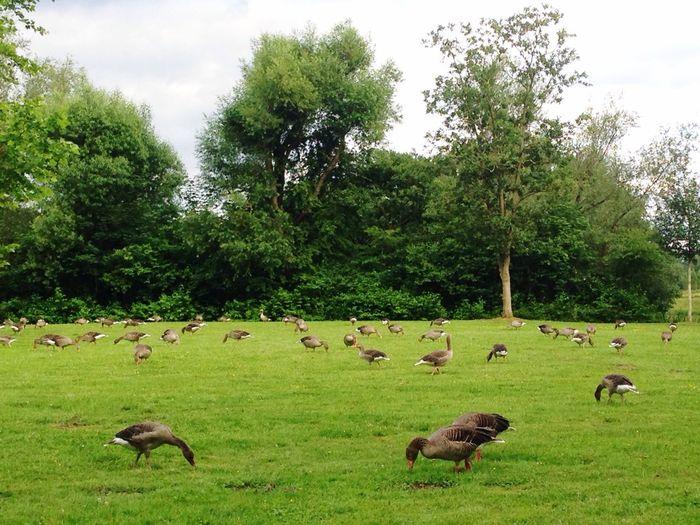 Goose Geese
