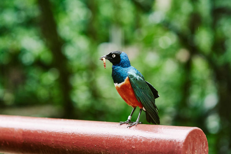 Jurong Bird Park Superb Starling Animal Themes Animal Wildlife Animals In The Wild Animal Bird Vertebrate Perching One Animal Focus On Foreground Day Close-up Outdoors Nature Railing No People Tree Green Color Looking Away Plant Zoology