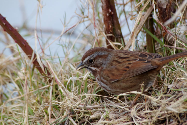 Animal Wildlife Bird Animals In The Wild Animal Themes Animal One Animal Plant Nature No People Day Grass Perching Sparrow Side View