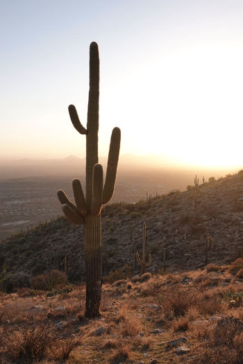 Saguaro cactus at magic hour in sabino canyon above tucson, arizona