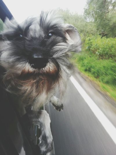 Maya Capture The Moment Snauzer Dog Mydog Mypet Dogstagram Dogslife Rolling On The Road Photooftheday Chuwi Dogoftheday Dogs Of EyeEm Enjoying Life Photo Photography Travel Photography First Eyeem Photo Animals Cute Cute Pets Dogstyle EyeEm Best Shots Eye4photography  EyeEmBestPics