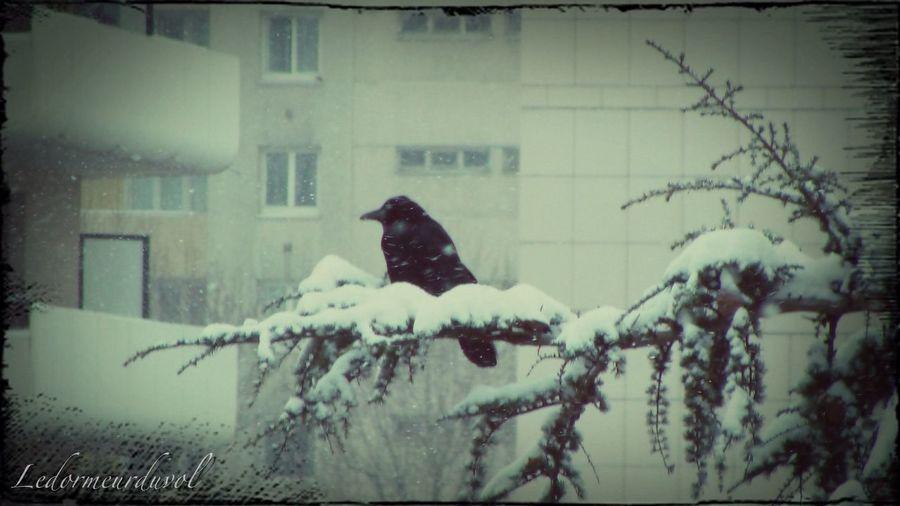 Un corbeau en hiver. Crow Urban Nature Winter LDDV