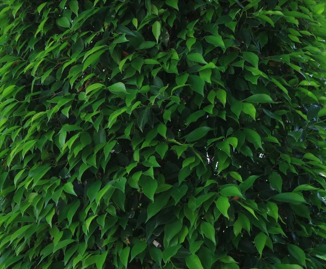 Green color leaf backgrounds Green Color Leaf Plant Part Beauty In Nature Backgrounds Leaves Plant No People