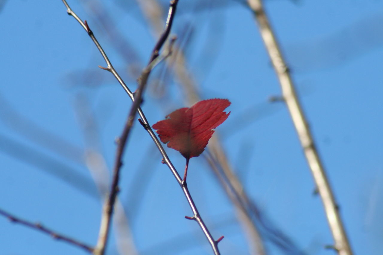 flower, red, nature, growth, fragility, beauty in nature, petal, close-up, plant, branch, outdoors, no people, day, low angle view, freshness, flower head, tree, sky
