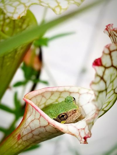 tree frog in waiting Carnivorous Plant Nature Peaceful EyeEmNewHere EyeEm Nature Lover Carnivorous Plant Bug Nature Outdoors Survival EyeEm Selects Perching Flower Living Organism Branch Butterfly - Insect Insect Reptile Leaf Close-up Animal Themes Plant Life Botany Blossom Focus Flower Head In Bloom EyeEmNewHere
