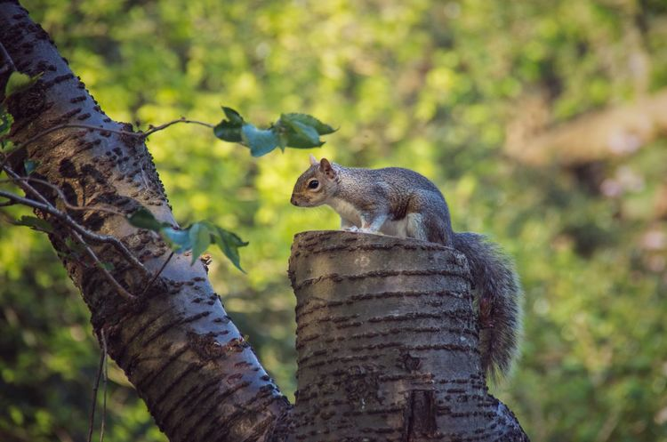 Much as this little guy is cute, I do miss the red squirrels that used to live in Kelvingrove. Animal Themes Beauty In Nature Day Forest Glasgow  Grey Squirrel Kelvingrove Park Mammal Nature No People Outdoors Scenics Scotland Scottish Squirrel Tree Tree Trunk Wildlife Nature's Diversities The Great Outdoors - 2016 EyeEm Awards