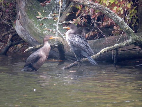 Two cormorants perched atop a bare tree branch close up outdoors Animal Themes Animal Wildlife Water Bird No People