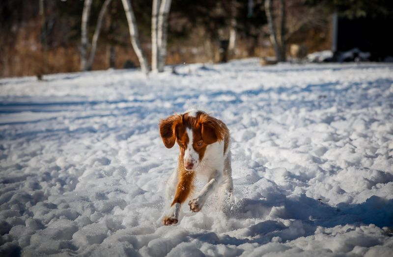 Brittany Spaniel Snow Cold Temperature Winter One Animal Canine Dog Pets Domestic Animals Mammal Animal Domestic Nature Land Animal Themes Day Field Vertebrate Focus On Foreground No People Outdoors