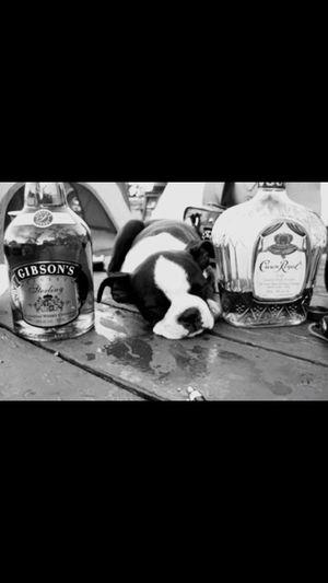 Bosten Terriers Dog Drunk Partied Hard Last Night Dolche Puppy Sleeping