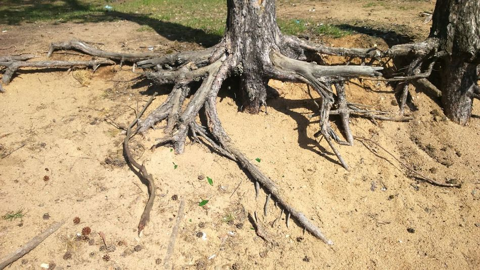 Lovely Weather Forest Nature Tree Roots  Sand