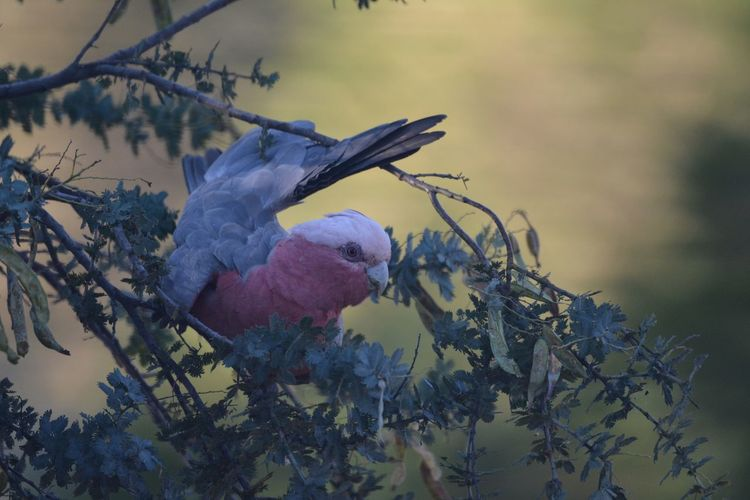 Galah In A Tree Nature No People Growth Branch Flower Beauty In Nature Plant Outdoors