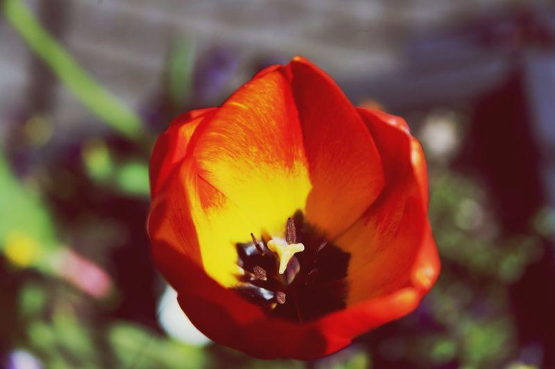 Flame tulip Flower Flowering Plant Fragility Petal Vulnerability  Beauty In Nature Flower Head