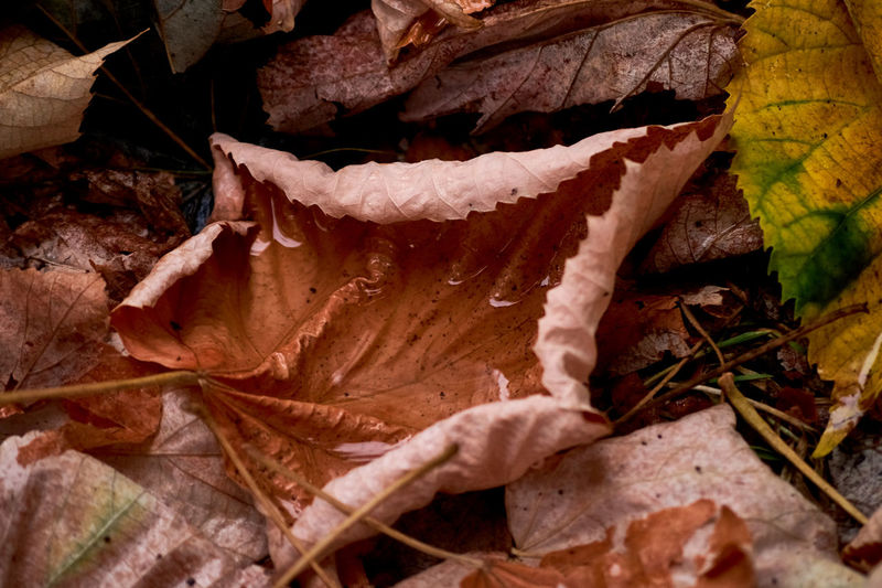 Close-up of dried maple leaves on land
