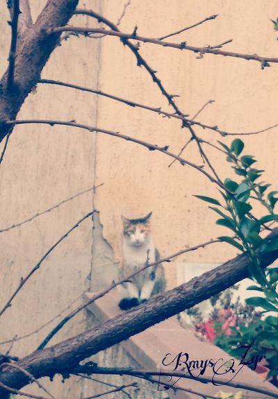 Kedi Catcatcat Kedi Aşkı Pisicik