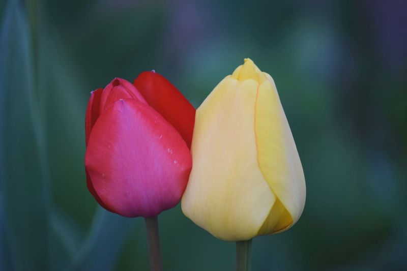 Two Tulips Red